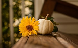 White_Pumpkin_with_a_sunflower_Fall_plants