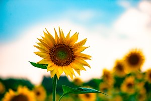 Sunflower_or_False_Sunflower